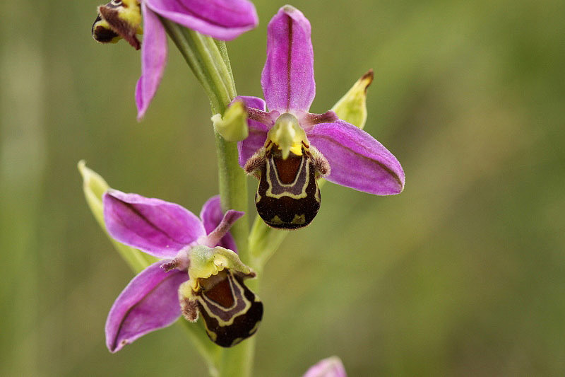 Bee Orchid by Richard Perchard