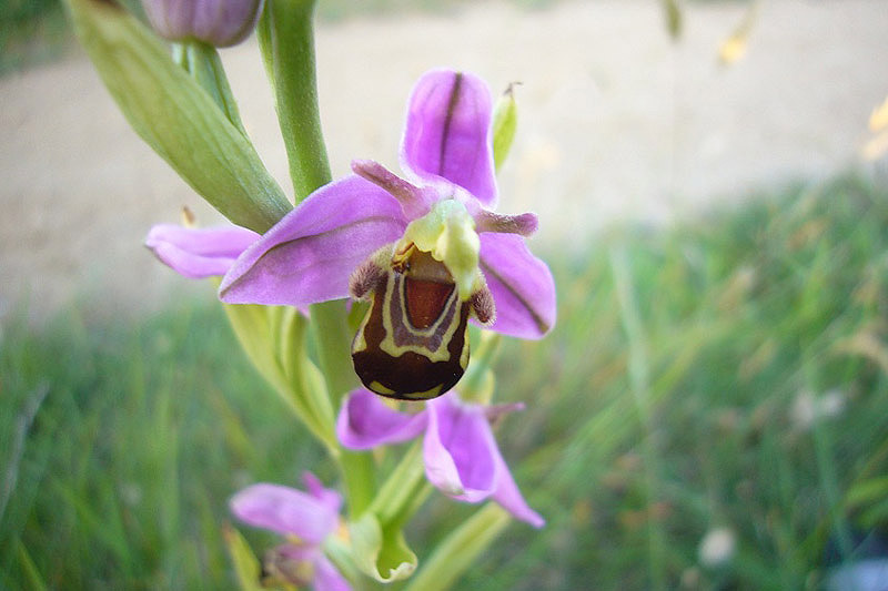 Bee Orchid by Anne Haden