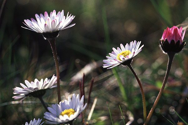 Daisy by Richard Perchard