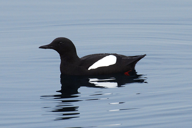 Black Guillemot by Bob Schmedlin