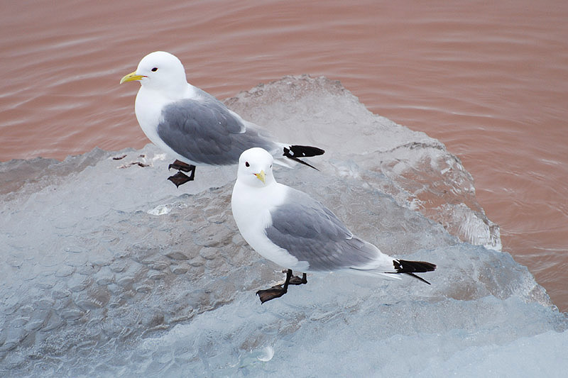 Kittiwakes by Bob Schmedlin