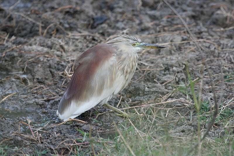 Indian Pond Heron by Tony Paintin