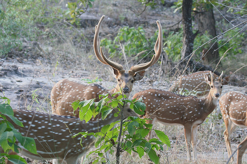 Chital by Tony Paintin