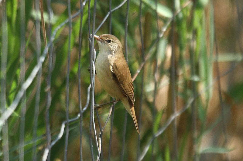 African Reed Warbler by Mick Dryden