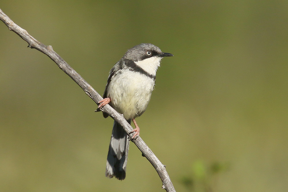 Bar throated Apalis by Mick Dryden