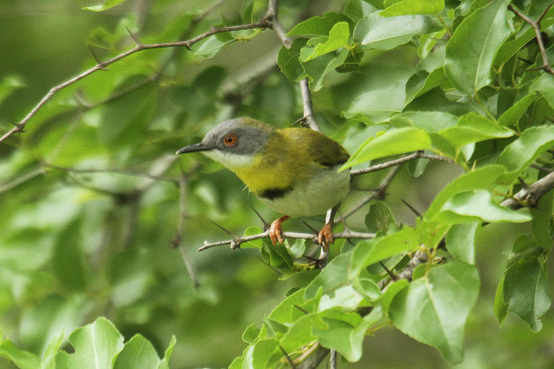 Yellow-breasted Apalis by Mick Dryden