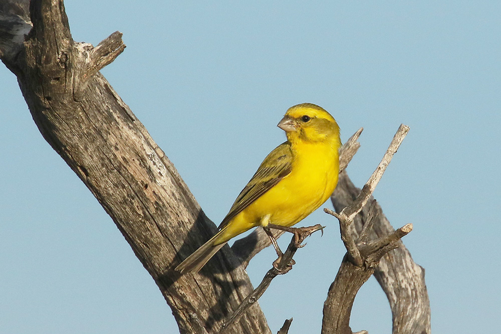 Yellow Canary by Mick Dryden