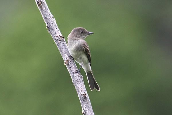 Eastern Phoebe by Mick Dryden