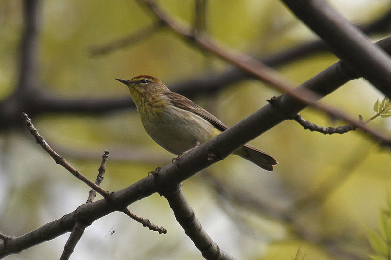 Palm Warbler by Mick Dryden