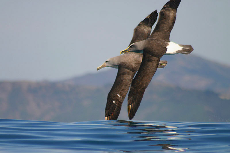 Albatrosses by Mick Dryden