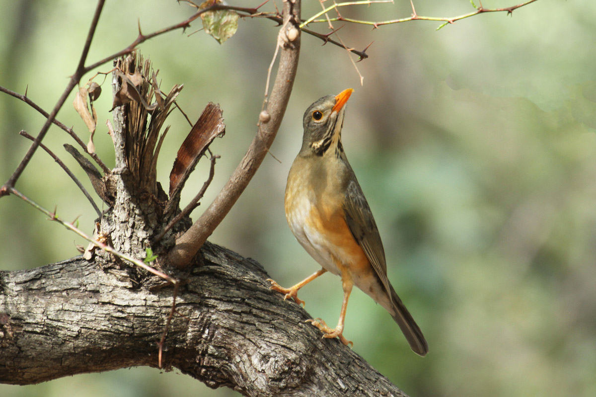 Kurrichane Thrush by Mick Dryden