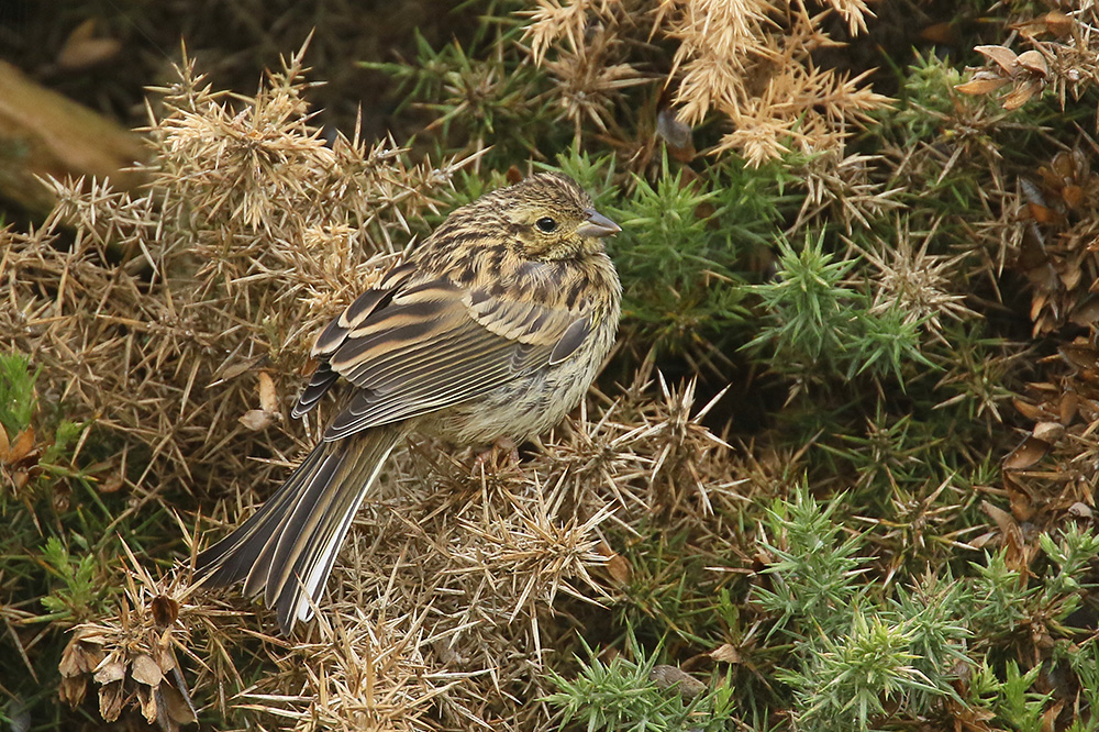 Cirl Bunting by Mick Dryden