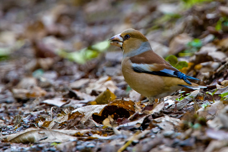 Hawfinch by Romano da Costa