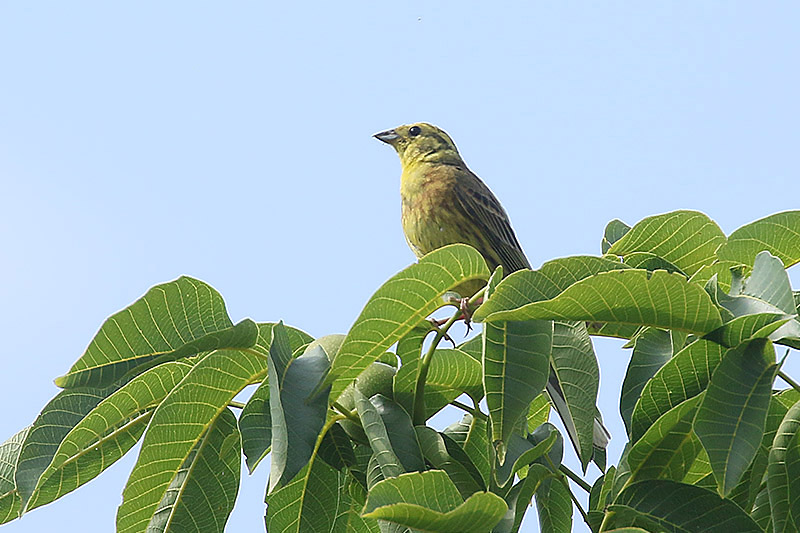 Yellowhammer by Mick Dryden