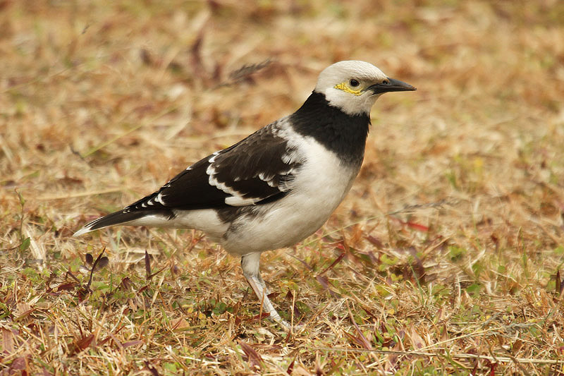 Black-collared Starling by Mick Dryden