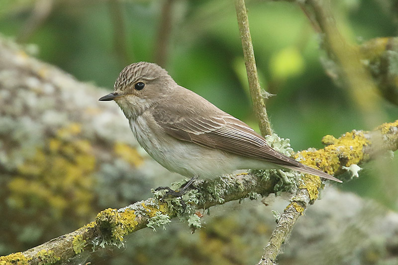 Spotted Flycatcher by Mick Dryden