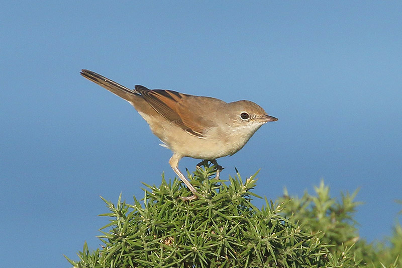 Common Whitethroat by Mick Dryden