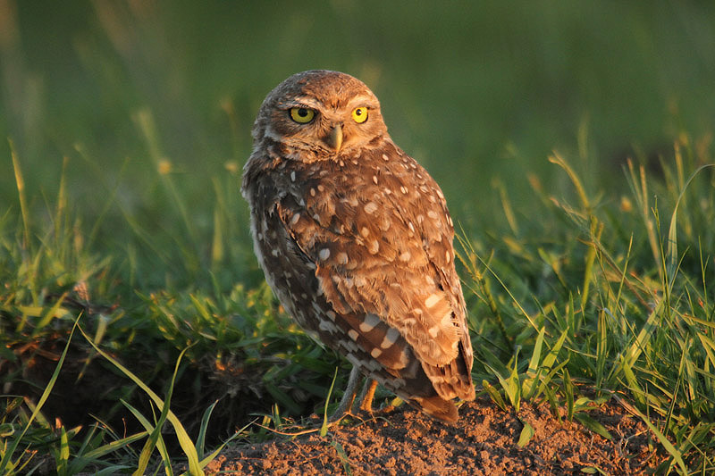 Burrowing Owl by Mick Dryden
