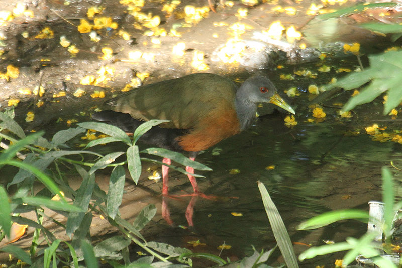 Gray-necked Wood-Rail by Mick Dryden