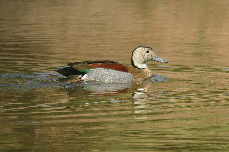 Ringed Teal by Mick Dryden
