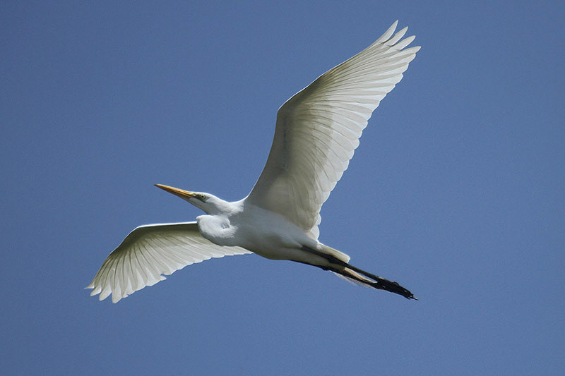 Great Egret by Mick Dryden