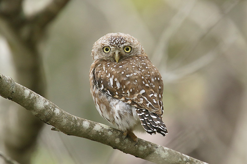 Pearl spotted Owlet by Mick Dryden