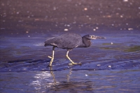 Eastern Reef Heron by Mick Dryden