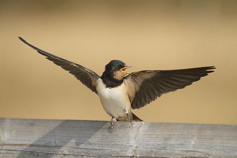 Barn Swallow by Mick Dryden
