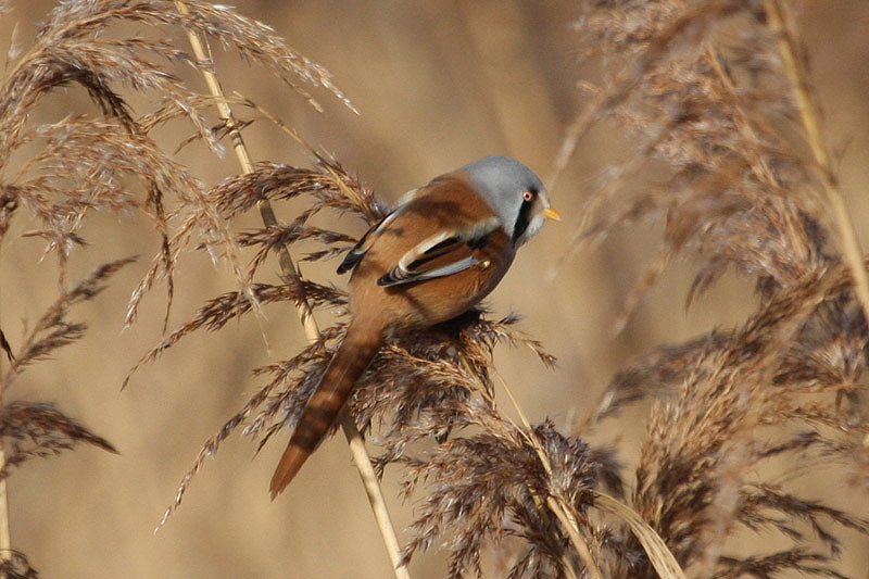 Bearded Tit by Miranda Collett