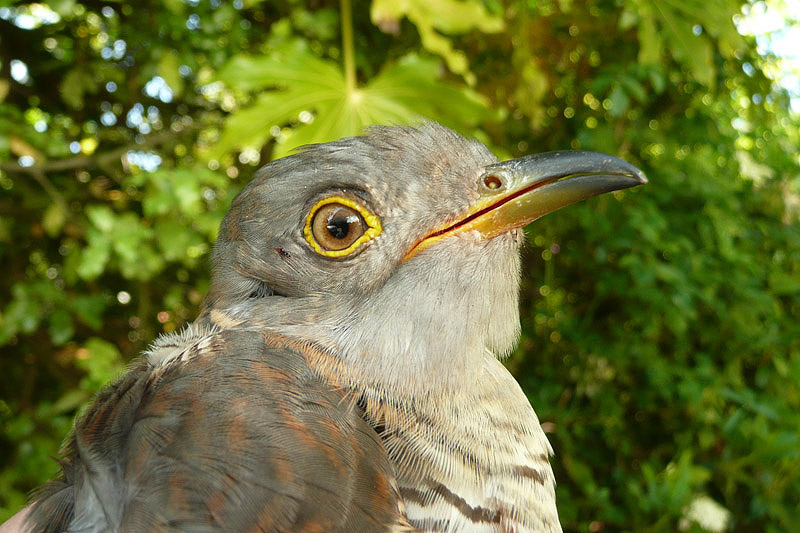 Cuckoo by David Buxton
