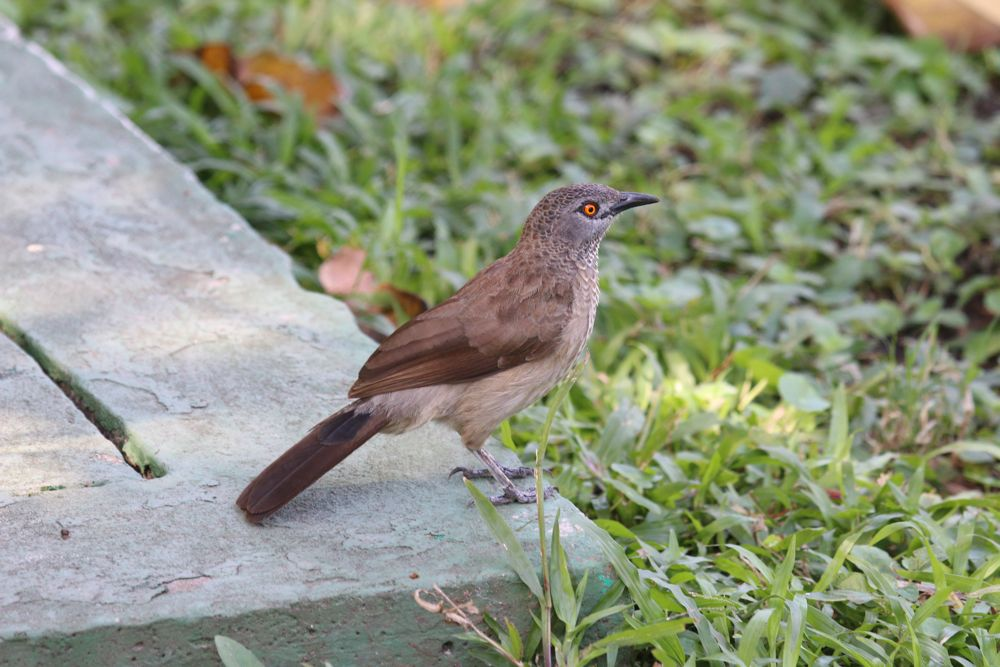 Brown Babbler by Tony Paintin