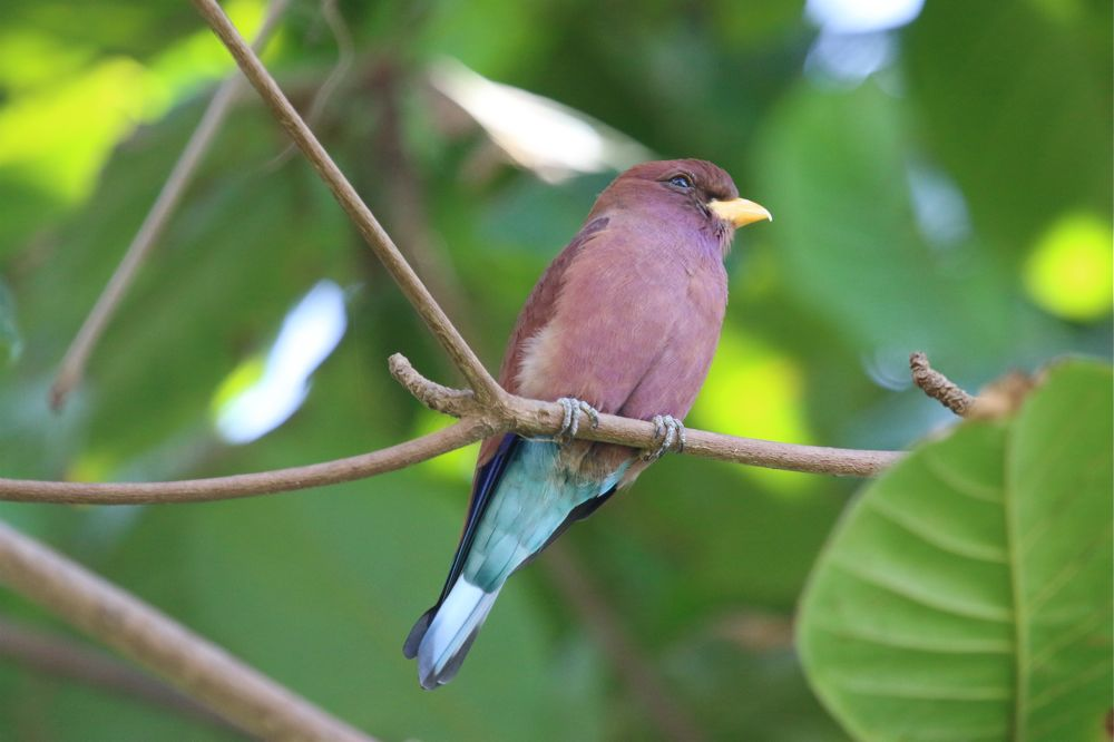 Broad-billed Roller by Tony Paintin