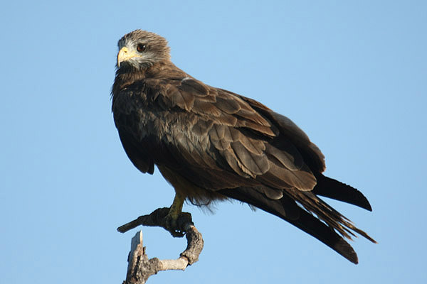 Yellow-billed Kite by Mick Dryden