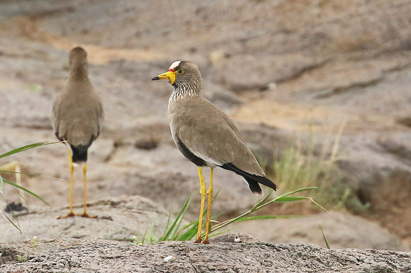 African Wattled Lapwing by Mick Dryden
