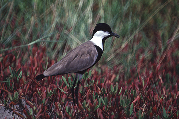 Spur winged Plover by Mick Dryden