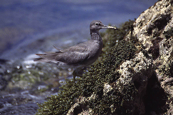 Wandering Tattler by Mick Dryden