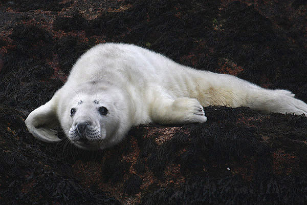 Atlantic Grey Seal  by Mick Dryden