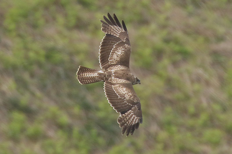 Common Buzzard by Mick Dryden