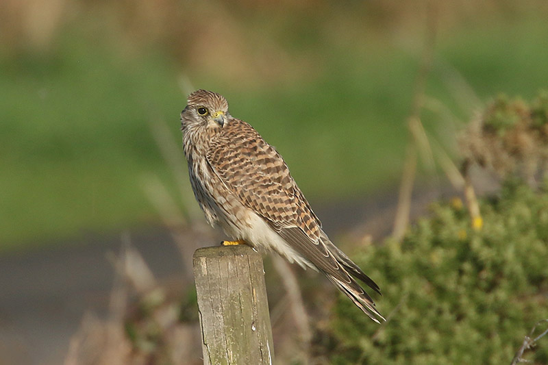 Kestrel by Mick Dryden