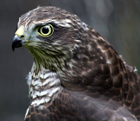 Sparrowhawk by Malcolm Smith