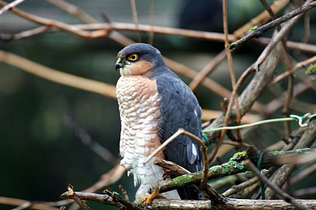 Sparrowhawk by Liliane Perdriat