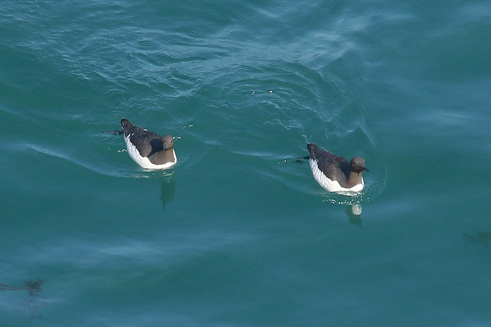 Common Guillemot by Mick Dryden