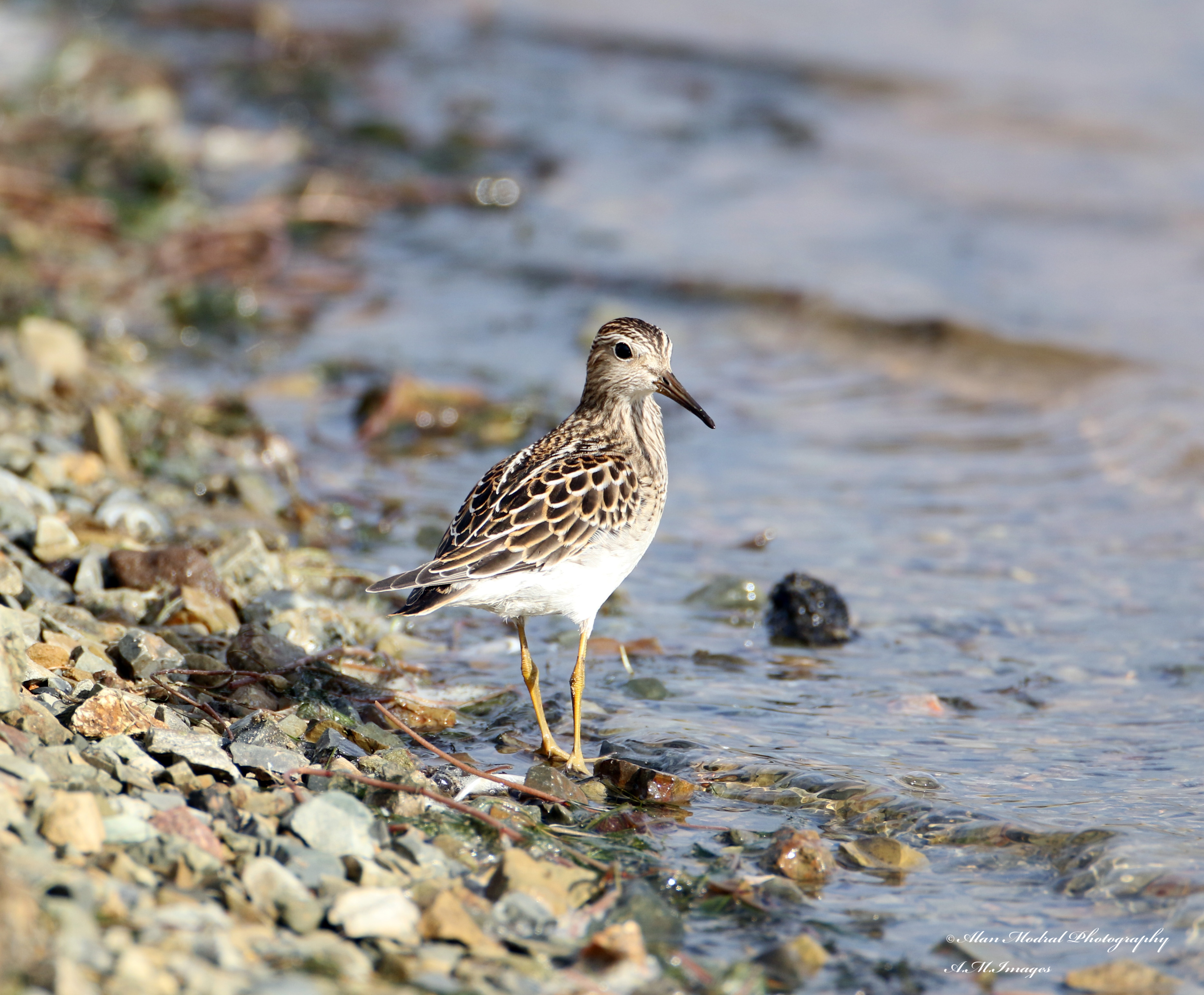 Pectoral Sandpiper by Alan Modral