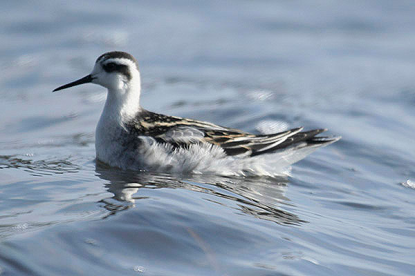 Red-necked Phalarope by Mick Dryden