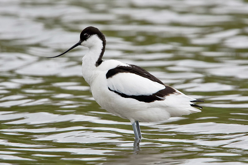 Avocet by Romano da Costa