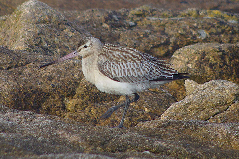 Bar tailed Godwit by Nick Jouault