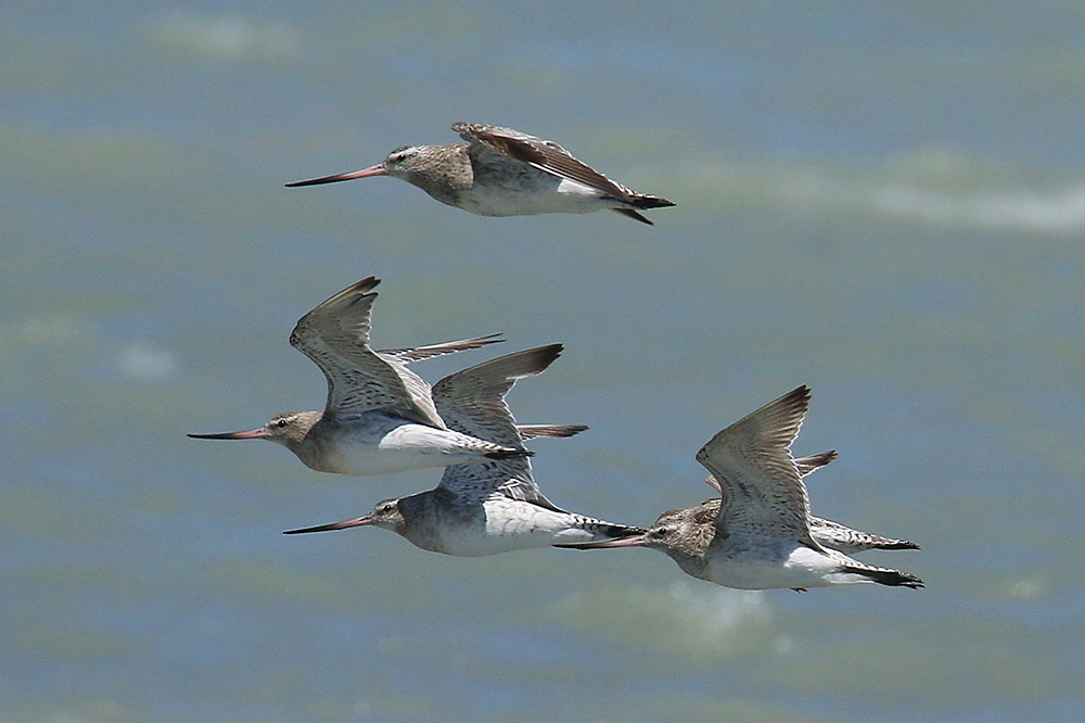 Bar-tailed Godwits by Mick Dryden