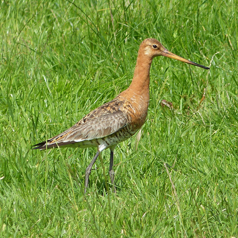 Black-tailed Godwit by Annie Queree