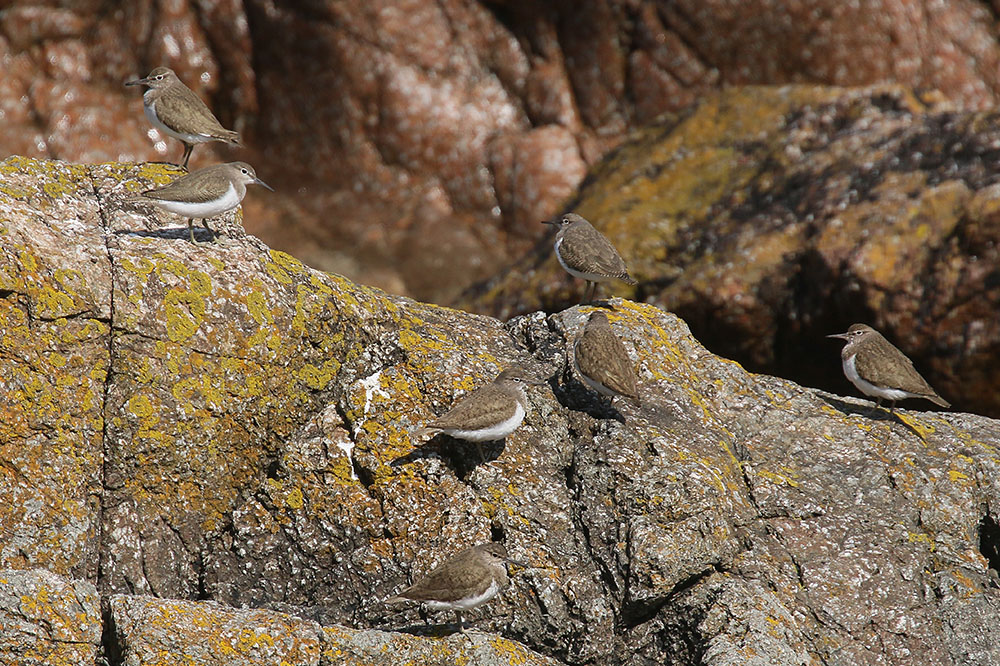 Common Sandpipers by Mick Dryden