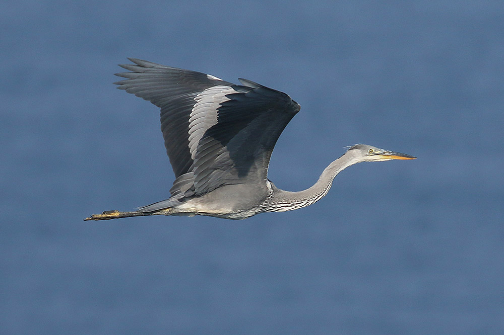 Grey Heron by Mick Dryden